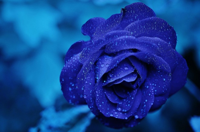Blue Rose - Macro Shot